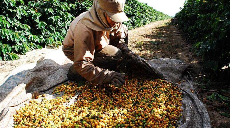 Comitê técnico do CDPC aprova reserva de R$ 1,3 bilhão para cafezais afetados por geada